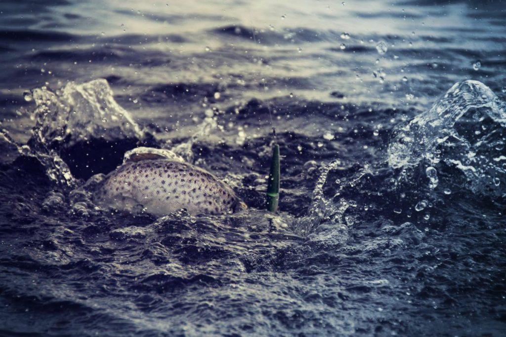 Havørred på krogen på Ærø