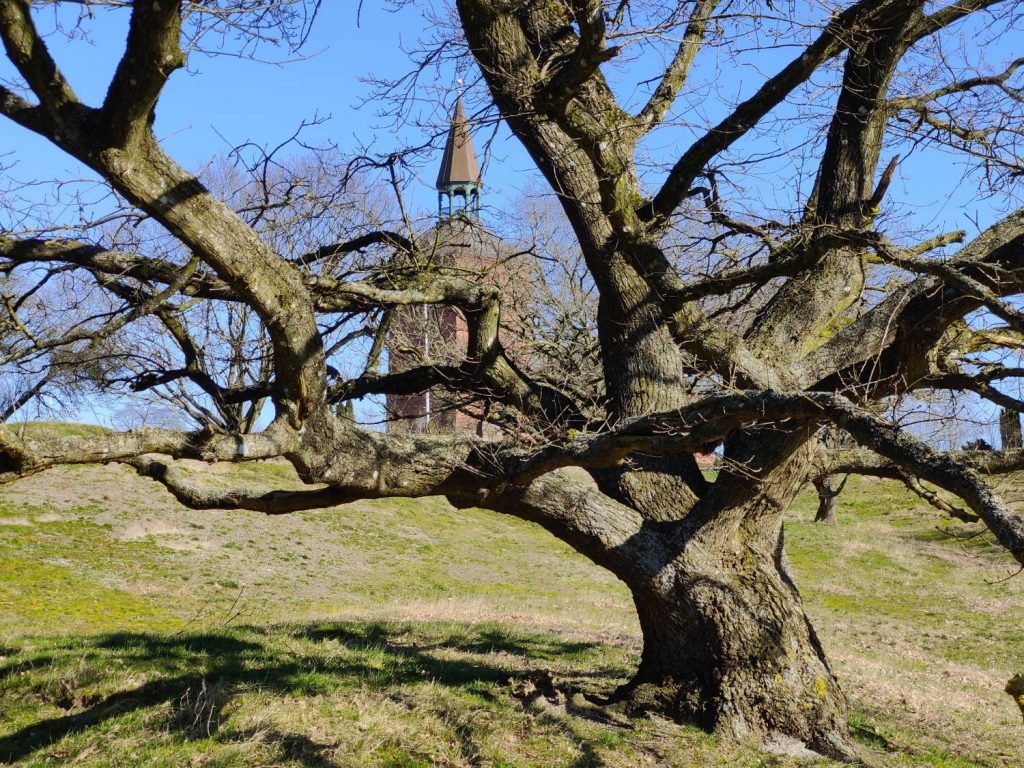 Klatretræer ved Bregninge Kirke