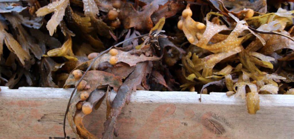 Tangchips opskrift fra Naturfamilier