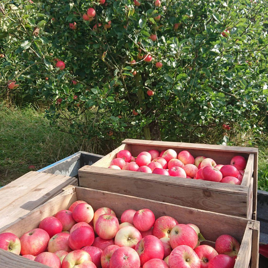 Pluk selv æbler