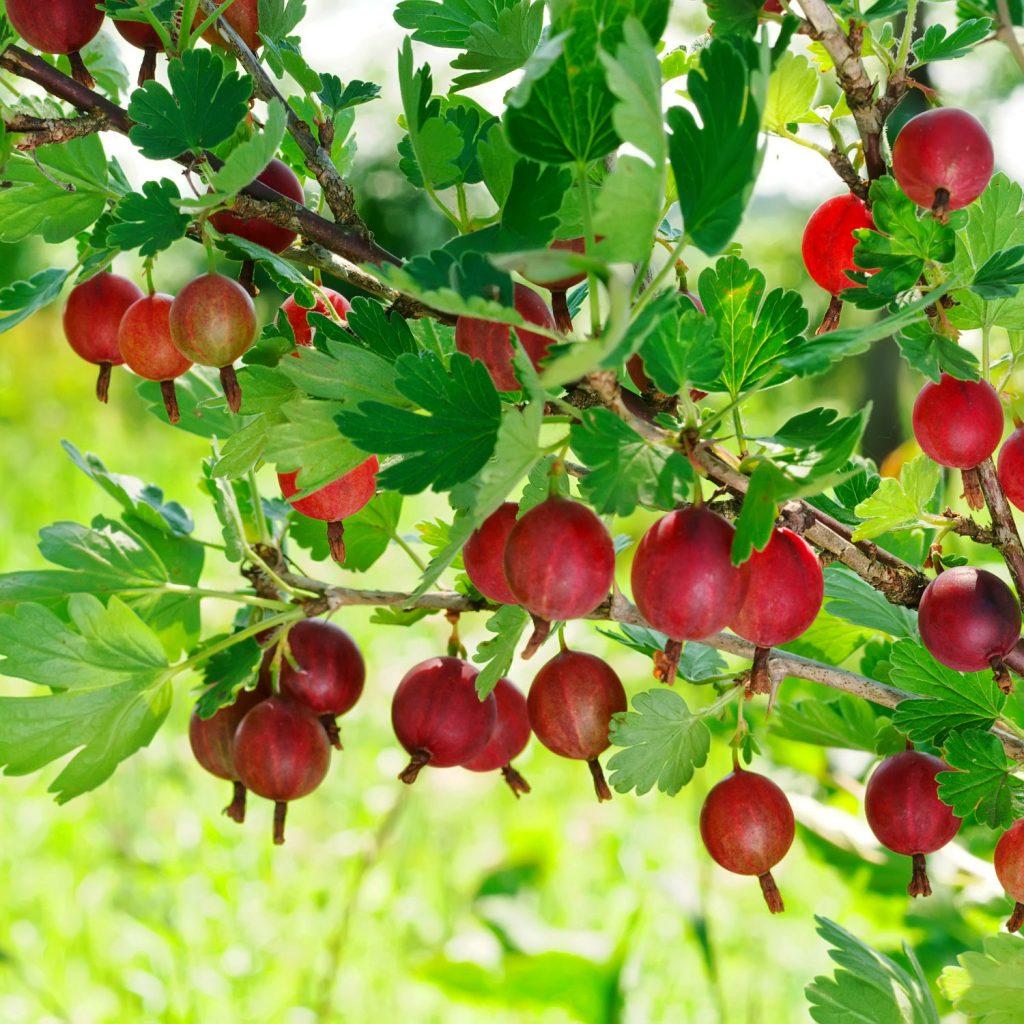 Pluk selv stikkelsbær