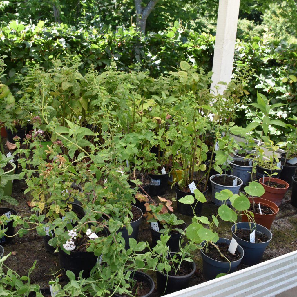 Plantesalg i Medicinhaverne på Langeland