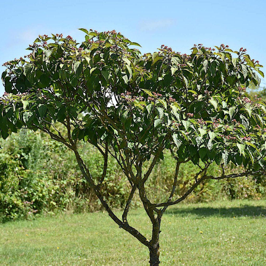 Skæbnetræet i Medicinhaverne på Langeland