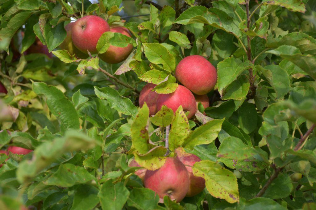 Æbler fra Holmdruphuse Æblelund