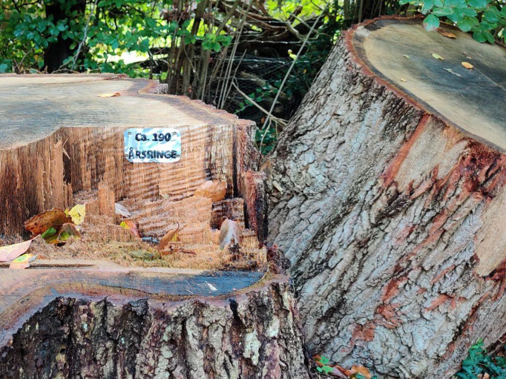 Gammelt træ i Rantzausmindeskoven