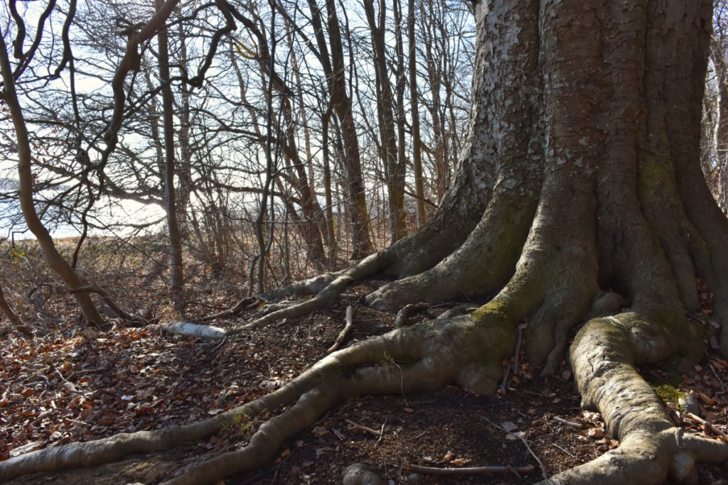 Gammelt træ i Tankefuldskoven