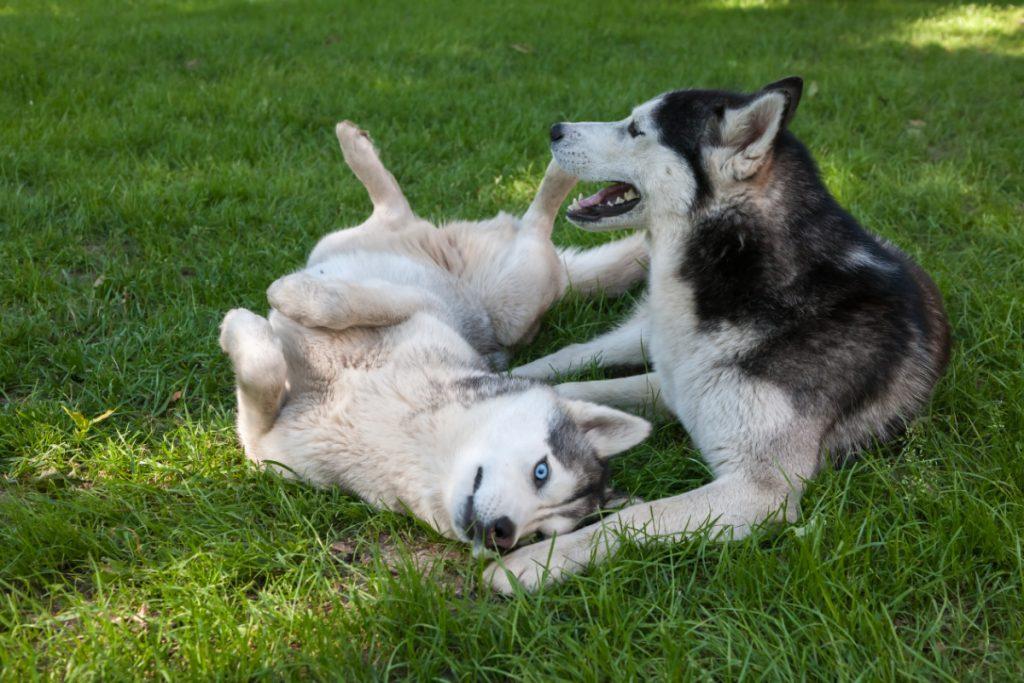 Hunde der leger