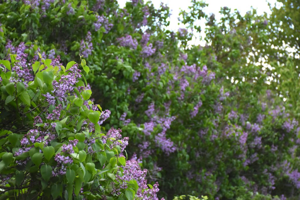 Smukke lilla syrener på Sydfyn